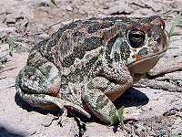 Great Plains Toad Fr