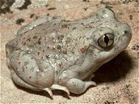 New Mexico Spadefoot Fr