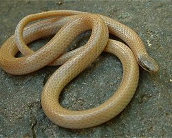 Colorado's Reptiles & Amphibians - Southwestern Blackhe