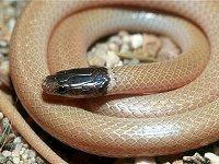Southwestern Blackhead Snake
